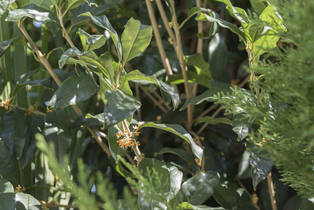 1階小庭には植栽がたくさん植えられ、その中には金木犀も。